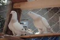 elazığ kuşçu güvercin şebab arap miski damar arabesk komedi