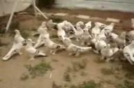 güvercin sebab türkiye dereceli kuşlar miski