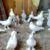 KusLaR Beyaz Mavi Güvercin