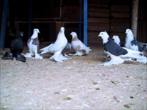 arka tepe bol paçalı güvercinler