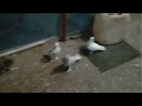 Bu güvercinler Tam bir Olay..! ( Oyun bunlarda var.)