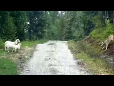 Bu Koyunlar Çok Cesur Çıktı Kurt Kovaladılar Çok İlginç