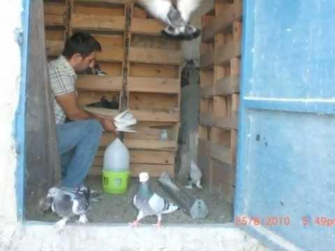 oyunlu güvercinler