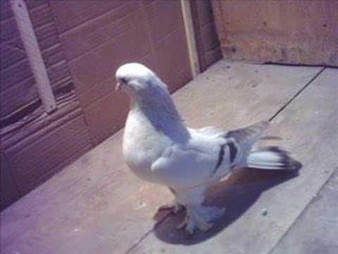 şebab güvercin