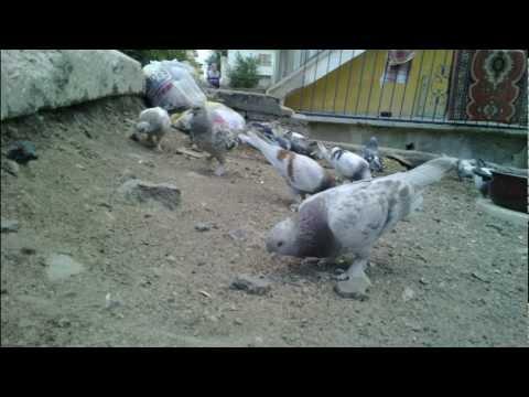 TAKLACI GUVERCINLER, ANKARA GUVERCINLERI, DUVOR, PIGEON, TAUBE, гулаб, голубь
