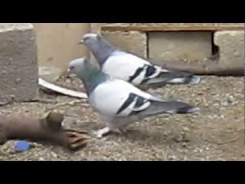 taklacı süper güvercinler bunlar kimsede yok oyun kuşları atabey  cinss damar