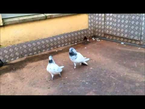 Yüksek Uçucu Güvercinler