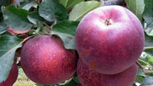 Elmayı Don Vurdu