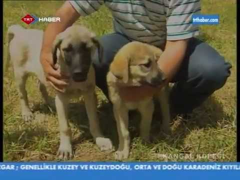 Kangal Köpeği Belgeseli TRT